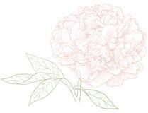 Peonia wektorowy kwiat. Zdjęcie Stock