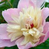 Peonia z Dewdrops Zdjęcie Royalty Free