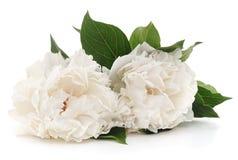 peonie biały zdjęcie stock
