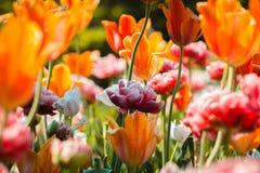 Peonie bianche e rosa che fioriscono accanto ai tulipani arancio a Frederik Meijer Gardens fotografia stock libera da diritti