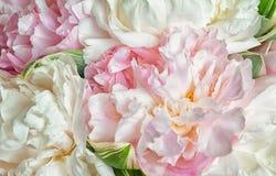 Peonie di fioritura fotografia stock