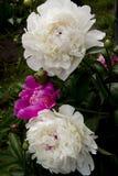 Peonie di fioritura Immagine Stock