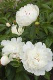 Peonie di fioritura Fotografia Stock Libera da Diritti