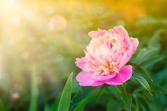 Peonie kwitnie w ogródzie Zdjęcie Royalty Free
