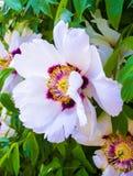 peonie Peonia kwiaty świezi jaskrawi kwitnący peonia kwiatów wi Zdjęcie Stock