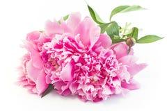 Peonie rosa Fotografie Stock Libere da Diritti