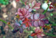 Peonie rosa delicate nel giardino verde fotografia stock