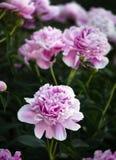 Peonie rosa e bianche nel giardino Fotografia Stock Libera da Diritti