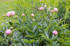 Peonie rosa in una gioia di promessa del giardino per un breve mentre in primavera immagine stock libera da diritti