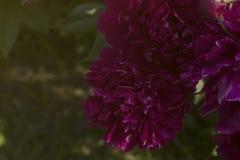 Peonie rosse nel giardino Fotografia Stock Libera da Diritti