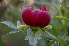 Peonie rosse nel giardino Peonia rossa di fioritura Fuoco selettivo Fotografia Stock Libera da Diritti