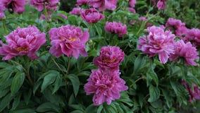 Peonie rosse nel giardino Peonia rossa di fioritura Gruppo di peonie rosse video d archivio