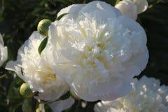 peonies белые Стоковые Изображения RF
