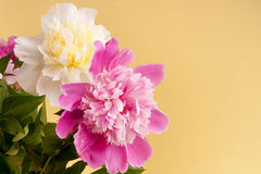 Peonies Royalty Free Stock Photo