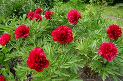 Peonies. Red peonies stock images