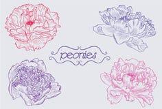 peonies Royalty-vrije Stock Afbeeldingen