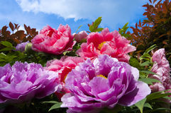 Peonies. Particular of a Peonies, a tropical flower
