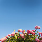 Peonies. Royalty Free Stock Images