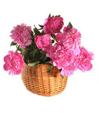 Peonies in a basket the isolated Royalty Free Stock Photography