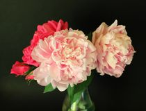 Peonies Royalty Free Stock Photos