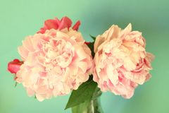 Peonies Stock Photos
