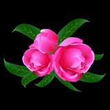 Peonies on a black background Royalty Free Stock Photos