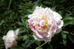 Peonies In Bloom Royalty Free Stock Photo