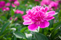 Peonies blooming Royalty Free Stock Photography