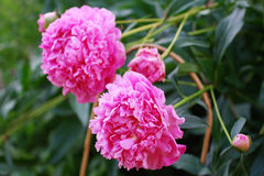 Peonies blooming Royalty Free Stock Images