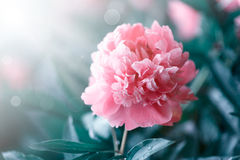 Peonies blooming in the garden Stock Image