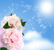 Peonies blossom Royalty Free Stock Photo