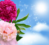 Peonies blossom Stock Photo