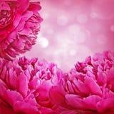 Peonies and bokeh. Peonies petals and pink bokeh Royalty Free Stock Images