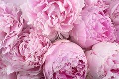 Peonies bonitos Ramalhete do fundo cor-de-rosa da peônia imagens de stock