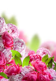 Peonies border on white background Royalty Free Stock Images