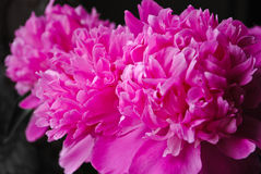 Peonies Royalty Free Stock Image