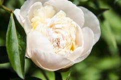 Peonies brancos Imagem de Stock Royalty Free