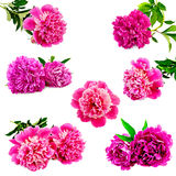 Peonies bright pink set Stock Photo