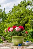 Poenies in a beuatiful garden - Peony. Peonies in a ceramic pot and a blue ceramic bird on a table in a small garden in front of fruit trees Royalty Free Stock Photos