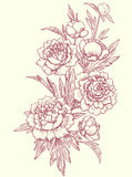 Peonies, clip art. Botanical drawing Royalty Free Stock Images