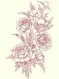 Peonies, clip art. Botanical drawing Royalty Free Illustration