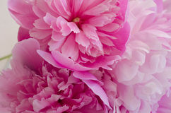 Peonies closeup. Pink flowers. Great peonies closeup stock image