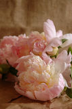 Peonies cor-de-rosa Imagens de Stock