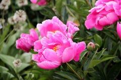 Peonies cor-de-rosa no jardim fotos de stock