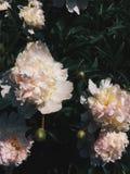 Peonies dentellare nel giardino fotografia stock libera da diritti