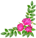 Peonies in dewdrops Stock Images