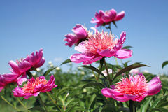 Peonies flower blooming in spring garden. On a sunny day Stock Photo