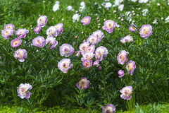 Peonies. Flowerbed with peonies in Kaliningrad Stock Photography