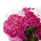 Peonies flowers Royalty Free Stock Image