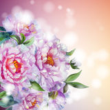 Peonies flowers background. Royalty Free Stock Images